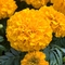Tagetes erecta 'Discovery Orange' (016859)