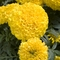 Tagetes erecta 'Discovery Yellow' (016860)