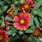 Gaillardia 'Arizona Red Shades' (041412)