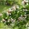Abelia mosanensis 'Sweet Emotion®' (089568)
