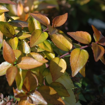 Abelia 'Canyon Creek' (028735)