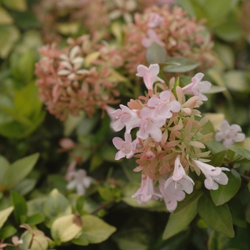 Abelia 'Canyon Creek' (028738)
