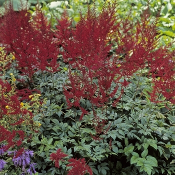 Astilbe X Arendsii Glow Glut Astilbe From Garden Center Marketing