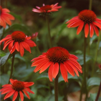 Echinacea purpurea Big Sky™ 'Sundown™' (050531)