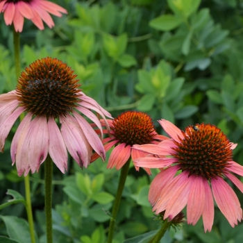 Echinacea purpurea Big Sky™ 'Sundown™' (072986)