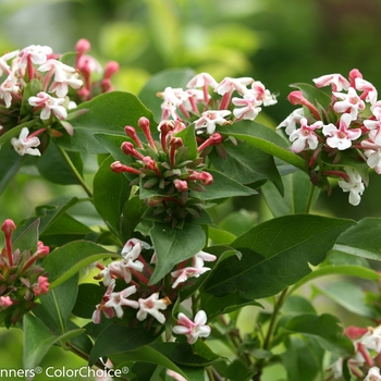 Abelia mosanensis 'Sweet Emotion®' (089565)