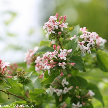 Abelia mosanensis 'Sweet Emotion®' (089566)