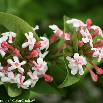 Abelia mosanensis 'Sweet Emotion®' (089567)