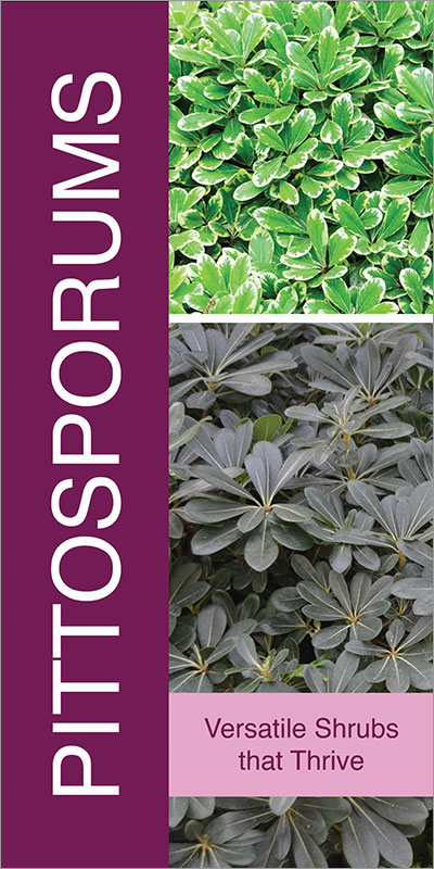 Pittosporums 18